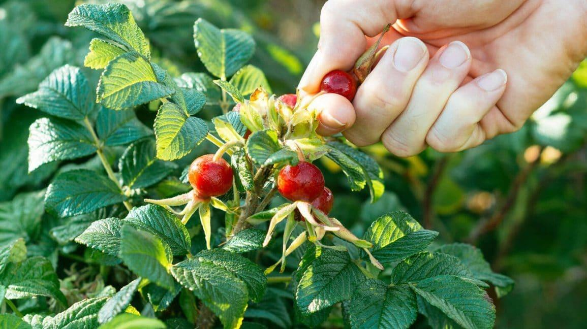 Rose Hips: Benefits, Forms, Uses, and Side Effects